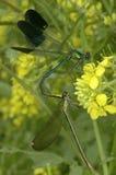 Due libellule che fanno l'un l'altro amore Fotografie Stock