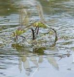 Due libellule dell'imperatore che combattono sul lago di canottaggio al terreno comunale di Southampton Immagine Stock
