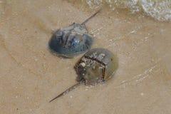 Due limuli sulla spiaggia fotografie stock