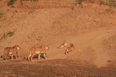 Due lionesses e cubs selvaggi Fotografia Stock Libera da Diritti