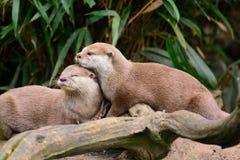 Due lontre che stringono a sé immagini stock libere da diritti