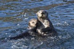 Due lontre di mare che galleggiano nelle acque costiere fuori dall'isola dentro Immagine Stock Libera da Diritti