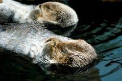 Due lontre sveglie Fotografia Stock