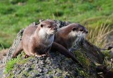 Due lontre sveglie che si siedono insieme su un tronco di albero Fotografia Stock Libera da Diritti