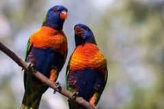 Due lorikeets dell'arcobaleno appollaiati su un ramo Immagine Stock