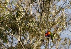 Due lorikeets dell'arcobaleno che baciano in un albero Immagini Stock