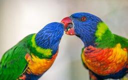 Due lorikeets dell'arcobaleno che scambiano alimento Fotografia Stock