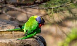 Due lorikeets dell'arcobaleno che si pavoneggiano al bordo del bagno dell'uccello Immagine Stock Libera da Diritti