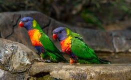 Due lorikeets dell'arcobaleno che si siedono al bordo del bagno dell'uccello Fotografie Stock