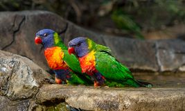 Due lorikeets dell'arcobaleno che si siedono vicino alla parte anteriore di un bagno dell'uccello Immagini Stock Libere da Diritti