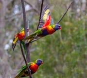 Due lorikeets dell'arcobaleno con le ali si aprono mentre un terzo sta sedendosi su un ramo Fotografia Stock