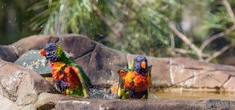 Due lorikeets dell'arcobaleno nell'acqua di un bagno dell'uccello Immagine Stock Libera da Diritti