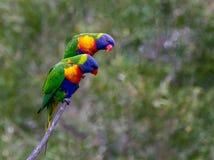 Due lorikeets su un ramo che guarda giù Fotografia Stock