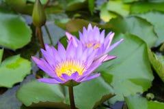 Due Lotus Flowers rosa Immagini Stock Libere da Diritti