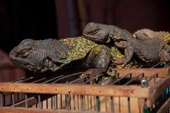 Due lucertole sulla loro gabbia Fotografia Stock Libera da Diritti