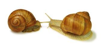 Due lumache gialle Immagini Stock