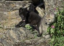Due lupi giovanili a gioco Fotografia Stock Libera da Diritti