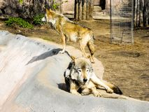 Due lupi grigi allo zoo immagine stock libera da diritti