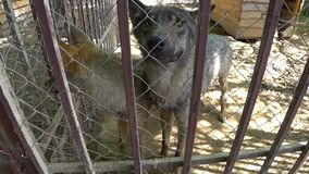 Due lupi sembrano gli occhi affamati in gabbia, nello zoo stock footage