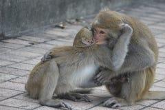 Due macachi di Formosa in montagne della città di Kaohsiung, Taiwan, anche chiamata cyclopis di Macaca Stanno combattendo Immagini Stock