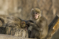 Due macachi giapponesi Fotografie Stock Libere da Diritti