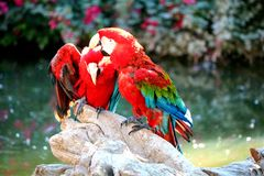 Due Macaws Fotografie Stock
