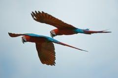 Due macaws che volano su Immagini Stock