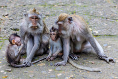 Due madri con i bambini di a coda lunga o del macaco di Granchio-cibo, integrali, isola di Bali, Indonesia Immagine Stock