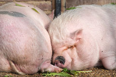 Due maiali che dormono vicino su fotografia stock libera da diritti