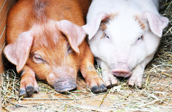 Due maiali, maiale, porcellini Immagini Stock Libere da Diritti