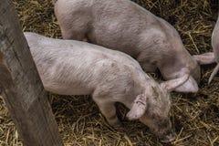 Due maiali nel suo haouse immagini stock libere da diritti