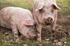 Due maiali nella penna Fotografie Stock Libere da Diritti