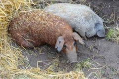 Due maiali nella terra e nel fieno Fotografie Stock