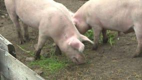 Due maiali in una penna Azienda agricola di maiale stock footage