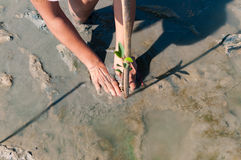 Due mani del volontario che ciao e piantano un giovane mangr verde Immagine Stock