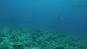 Due mante su una barriera corallina video d archivio