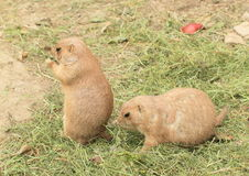 Due marmotte Immagine Stock
