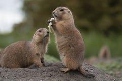 Due marmotte Fotografie Stock