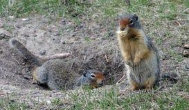 Due marmotte ad un campeggio nelle montagne rocciose Fotografia Stock