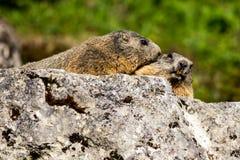 Due marmotte alpine che stringono a sé su una roccia Fotografie Stock