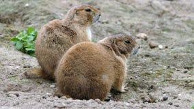 Due marmotte attente fotografia stock libera da diritti