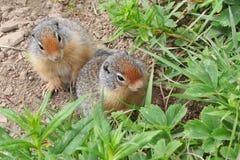 Due marmotte che decidono che cosa mangiare Immagine Stock Libera da Diritti