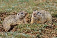 Marmotta (ludovicianus del cynomys) fotografia stock