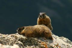 Due marmotte su una roccia Fotografie Stock