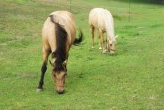 Due marroni e cavalli beige che mangiano erba in un campo Immagine Stock