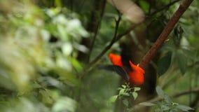 Due maschi del peruvianus andino del Rupicola della Gallo-de--roccia che lekking e che dyplaing sul ramo e sulle femmine aspettan video d archivio
