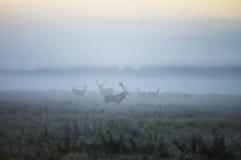 Due maschi di un cervo nobile e di parecchi cervi camminano intorno al campo i Fotografia Stock