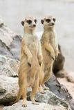 Due Meerkats o Suricates (suricatta del Suricata) Immagine Stock