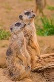 Due meerkats o suricats che stanno sulla sabbia Fotografia Stock