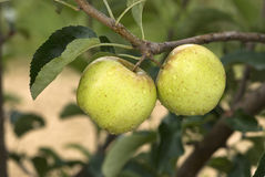 Due mele dorate su una filiale fotografia stock